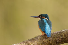 KingFisher Male. A male KingFisher sitting on a branch just infront of the burrow where the female layed her eggs Stock Photo