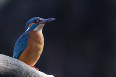 KingFisher Male Royalty Free Stock Photos