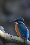 KingFisher Male. A male KingFisher sitting on a branch just infront of the burrow where the female layed her eggs Royalty Free Stock Photo