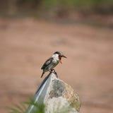 Kingfisher Masai Mara Kenya Royalty Free Stock Photos