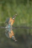 Kingfisher med låset arkivfoto