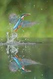 Kingfisher med låset royaltyfri fotografi