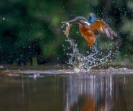 Kingfisher med låset Royaltyfri Foto