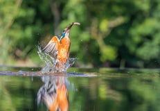 Kingfisher med låset Arkivbilder