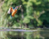 Kingfisher med låset Royaltyfria Bilder