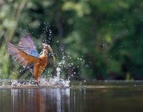 Kingfisher med låset Arkivfoton