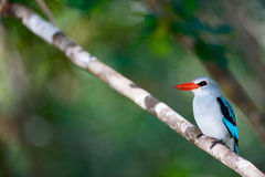 Kingfisher in Mozambique Royalty Free Stock Photos