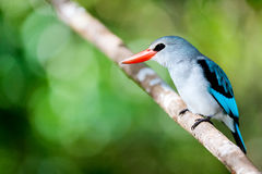 Kingfisher in Mozambique. Mangrove kingfisher in Mozambique, Africa Royalty Free Stock Photo