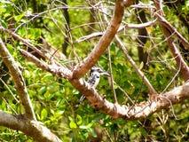 Kingfisher. In Nationalpark Africa Kenia Stock Image