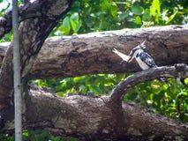 Kingfisher. In Nationalpark Africa Kenia Royalty Free Stock Image