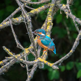 Kingfisher. In a nature reserve in Italy Royalty Free Stock Photo