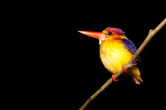 Kingfisher at night Royalty Free Stock Photos