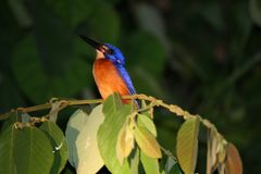Kingfisher at night Royalty Free Stock Photography