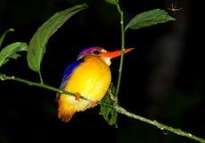 Kingfisher. Oriental dwarf kingfisher, Ceyx erithaca, Borneo Royalty Free Stock Images