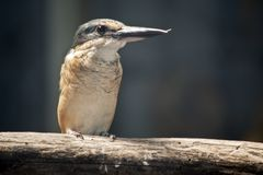 A kingfisher with an over lapping beak. The kingfisher is perched on a piece of wood stock image