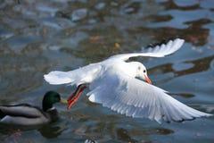 Kingfisher overseer Stock Photo
