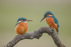 Kingfisher pair Stock Images
