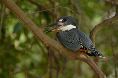 Kingfisher. In Pantanal area, Brazil Royalty Free Stock Photography