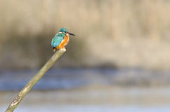 Kingfisher perch Stock Images