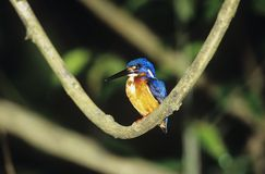 Kingfisher perched on branch Royalty Free Stock Images