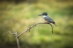 Kingfisher perched on branch. Stock Photography