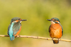 Kingfisher perched on a branch Stock Photos