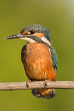 Kingfisher perched on a branch Royalty Free Stock Photography