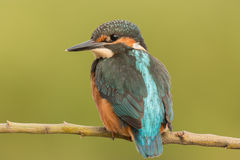 Kingfisher perched on a branch Stock Photo