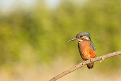Kingfisher perched on a branch Stock Image
