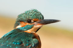 Kingfisher perched on a branch Royalty Free Stock Image