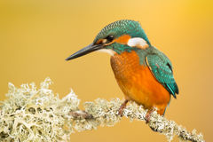 Kingfisher perched on a branch Royalty Free Stock Photos
