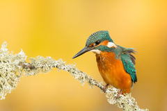 Kingfisher perched on a branch Stock Photography