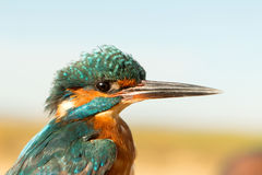 Kingfisher perched on a branch Stock Images