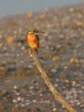 Kingfisher perched on branch at sunset Stock Photo