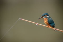 Kingfisher perched on a fishing rod Stock Image