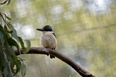 This is a kingfisher. The kingfisher is perched on a high tree branch royalty free stock photography