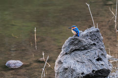 Kingfisher. Perched on a rock by the river Stock Images