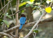 Kingfisher-5 Stock Image