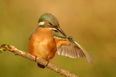 Kingfisher perched on tree branch preening the plumage Royalty Free Stock Photo