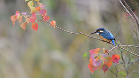 Kingfisher perching Royalty Free Stock Photography