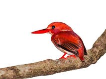 Kingfisher perching on a branch. Red bird, pygmy kingfisher, Corythornis madagascariensis on a uniform white background Royalty Free Stock Photos