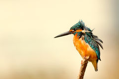 Kingfisher Perching on Twig during Daytime Stock Photos