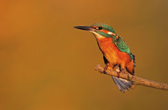 Kingfisher. The picture was taken in Hungary Stock Photography