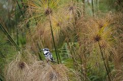 kingfisher pied Стоковые Фото