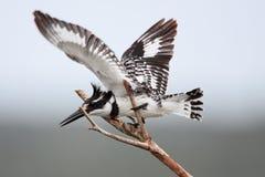 kingfisher pied Стоковые Изображения