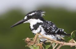 kingfisher pied Στοκ Φωτογραφία
