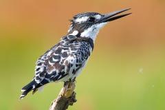 kingfisher pied Стоковое Изображение
