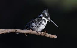 kingfisher pied Стоковая Фотография RF