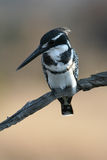 kingfisher pied Стоковое Изображение RF