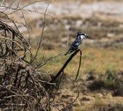 kingfisher pied Стоковая Фотография